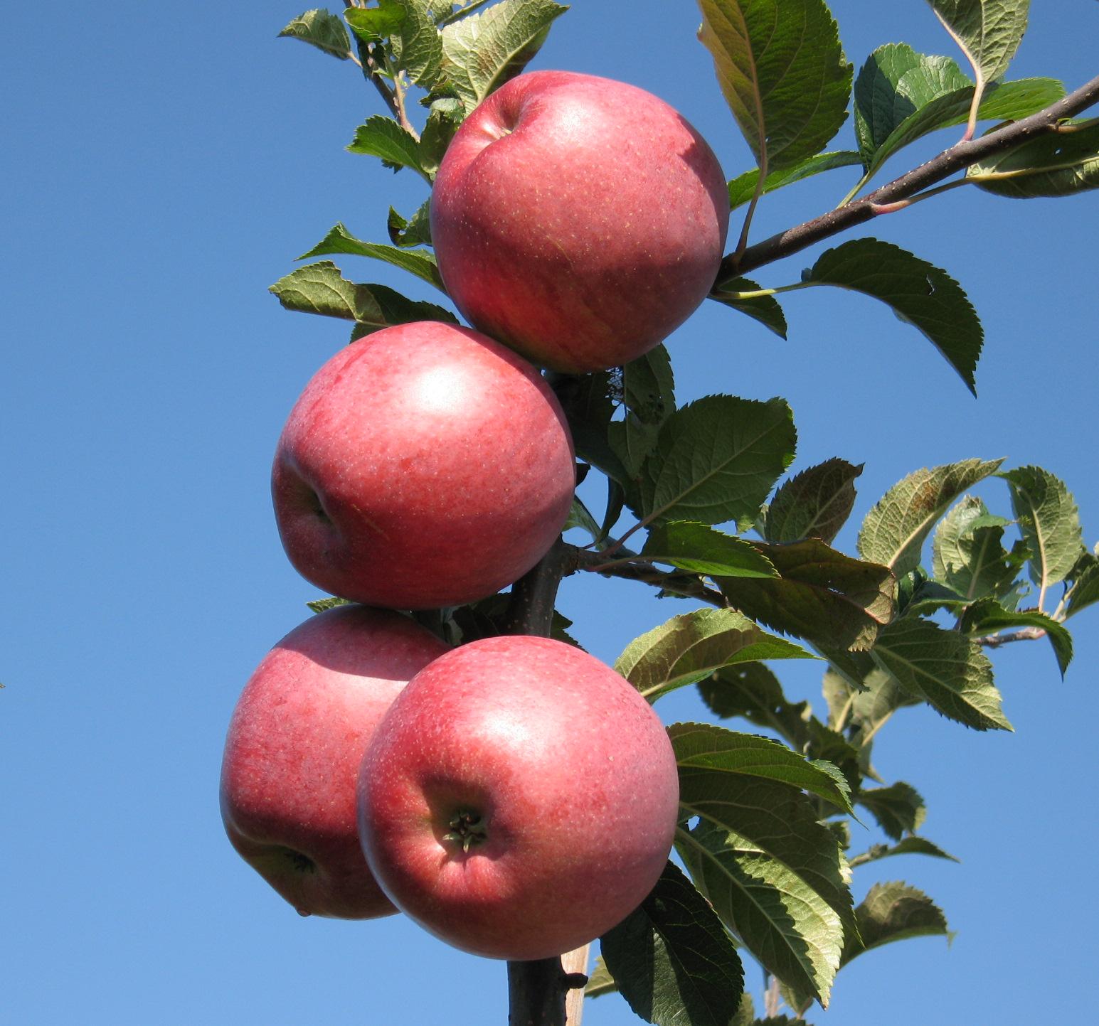 Jabłoń Melfree