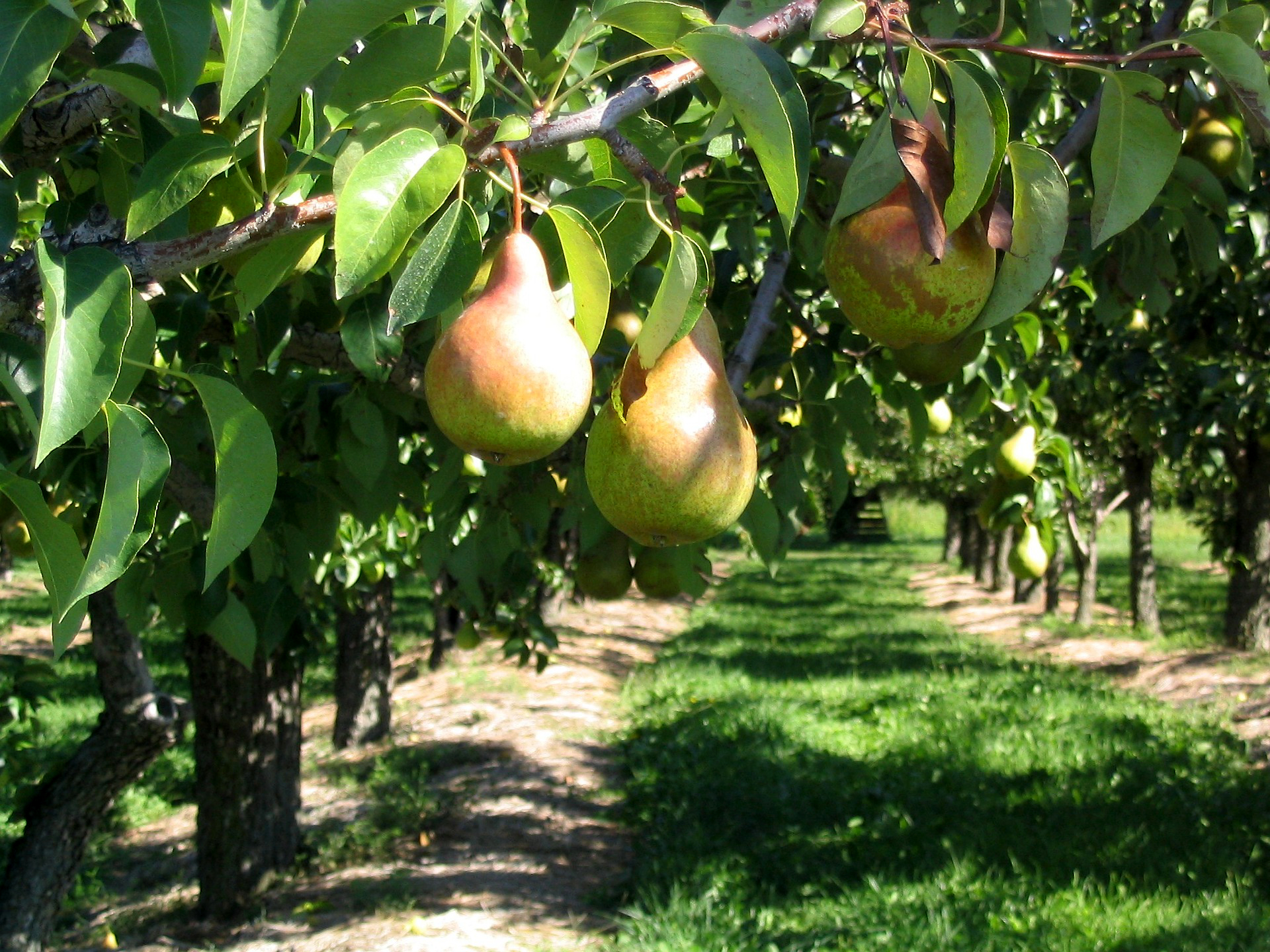 Technika sadzenia drzewek owocowych